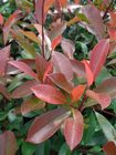 Photinia x fraseri Red Robin 3L Pot 80-100cm